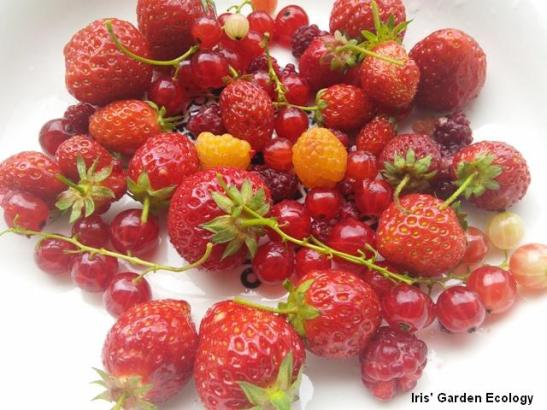 Dagoogst fruit IGE