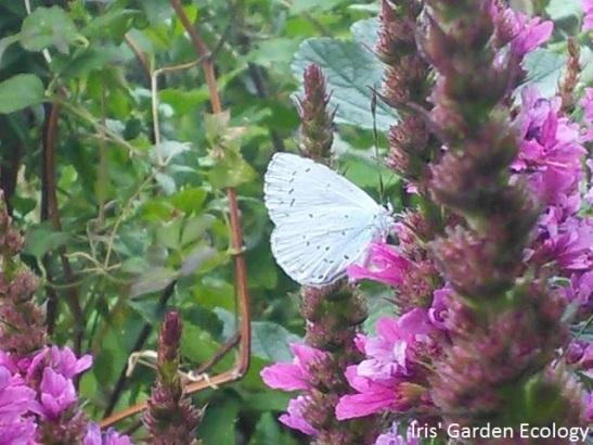 vlinder op kattenstaart2