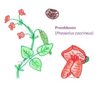 Pronkboon