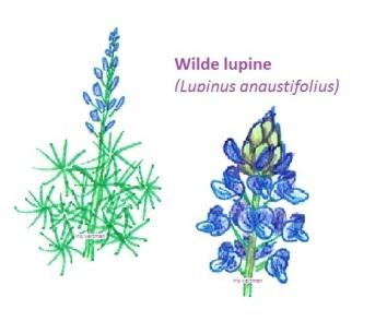 Wilde lupine