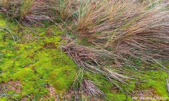 Dit mos kleurt in natte periodes geelgroen maar is spectaculair in het najaar, als het fel afsteekt met het vaal wordende helmgras.