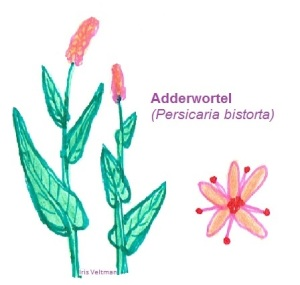 Adderwortel