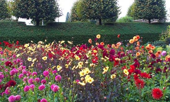 Dahlia's. Wat moeten ze hier een hoop werk aan hebben... Kijktuinen Nunspeet (2013).