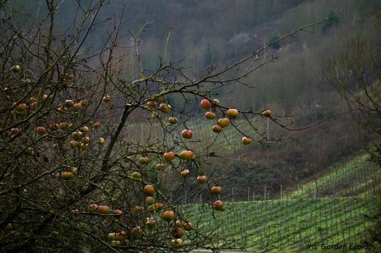 Appelboom voor de wijnvelden in Duitsland