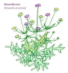 Beemdkroon