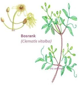 Bosrank (wild)