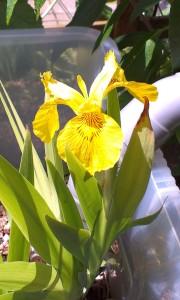 Bloeiende gele lis in helofytenfilter naast inlaat vanaf dak.