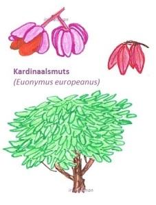 Kardinaalsmuts europeanus