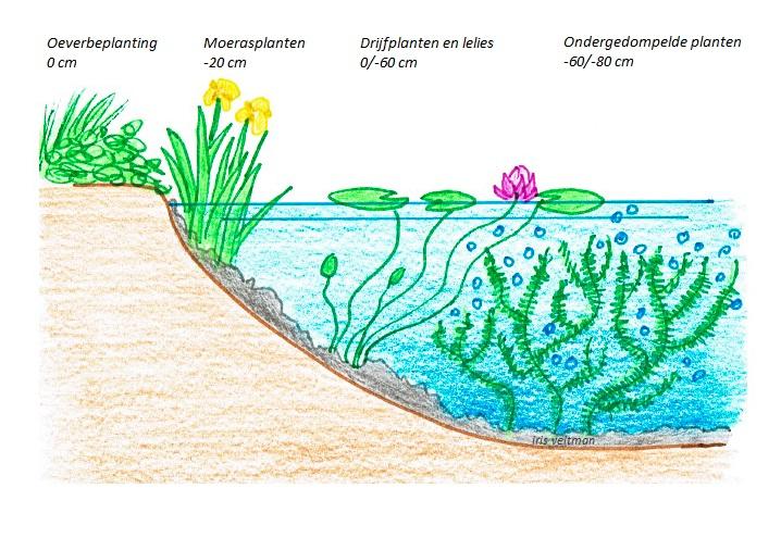 Vijverbeplanting voor dieren iris 39 garden ecology for Vijver zonder pomp