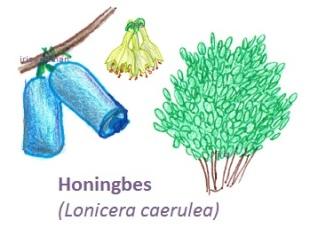 Honingbes