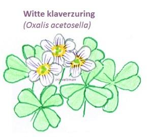 klaverzuring (oxalis)