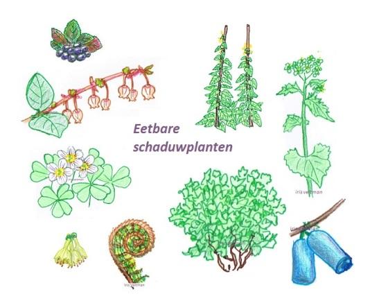 eetbare schaduw planten 3 uitgelicht