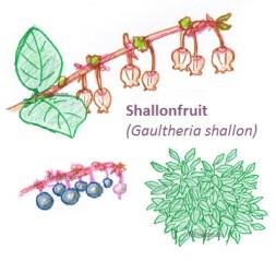Shallonfruit