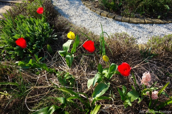 voortuin tulpen