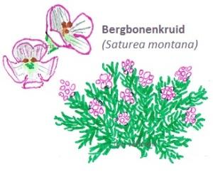 Bergbonenkruid