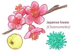 Dwergkwee (Japanse)