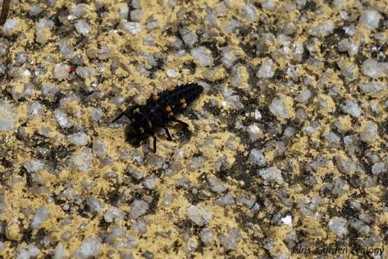 lieveheersbeestje larve 1