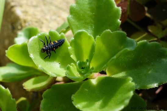 lieveheersbeestje larve 2