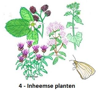 Inheemse planten voor de meer kieskeurige vlinder (en rups).