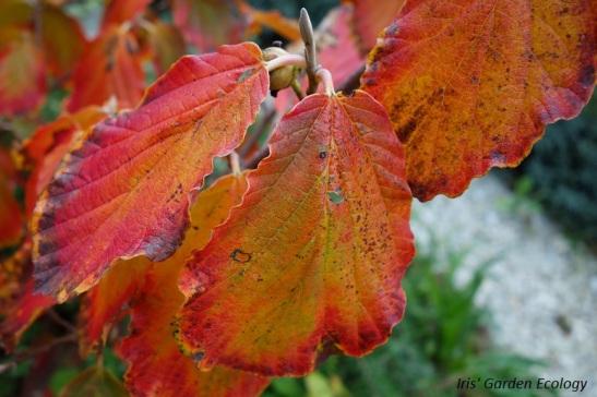 bladeren-herfst-hamamelis