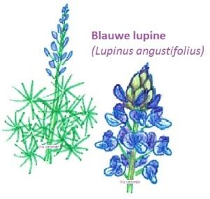 lupine blauw stikstof eenjarig groenbemester mulch