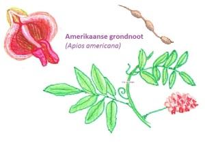 amerikaanse-grondnoot