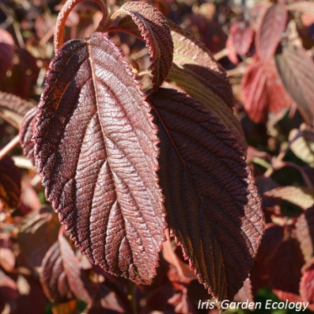 japanse-sierkers-prunus-cerasifera-nigra