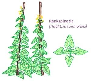 rankspinazie