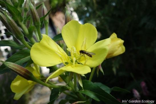teunisbloem-bloem