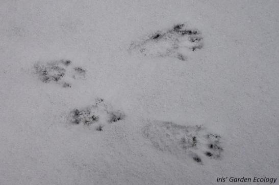 eekhoorn-afdruk-in-de-sneeuw