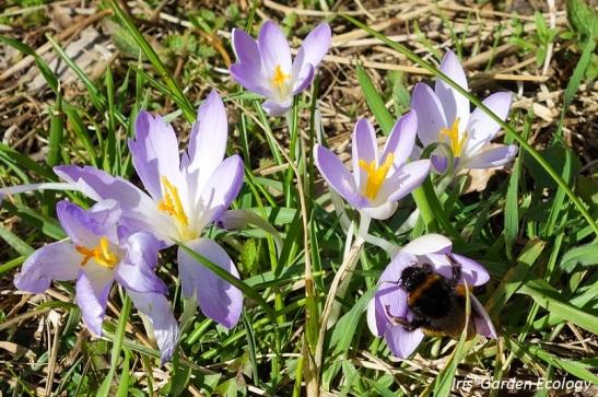 hommel-bloemen