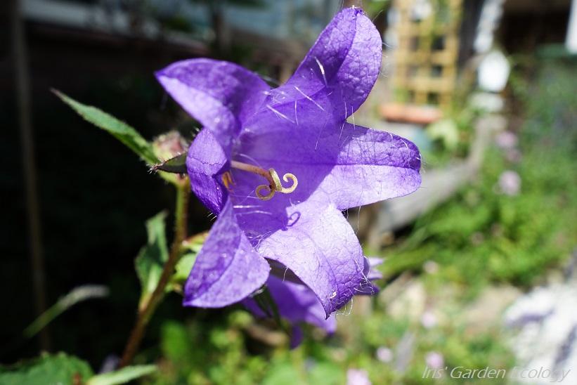 Bijzondere eetbare planten: Campanula