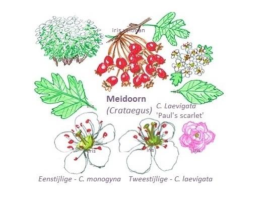 Bijzondere eetbare planten: (eenstijlige) meidoorn