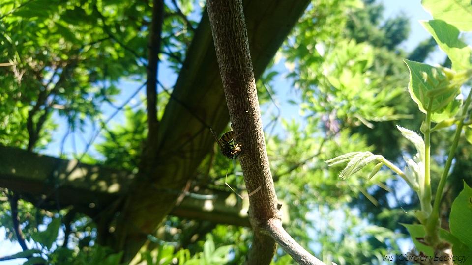 Een jagende wesp [met foto's]