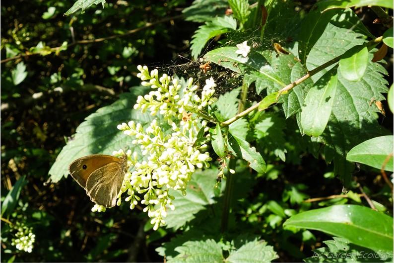 Vlinderstruik: goed of slecht voor insecten?